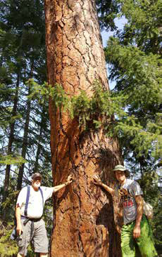 Big Red Ponderosa Tree