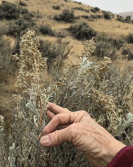sagebrush seed head