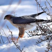 Raptors of Winter by Dave Hillestad