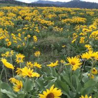 balsamroot bloom on Glacier View Trail